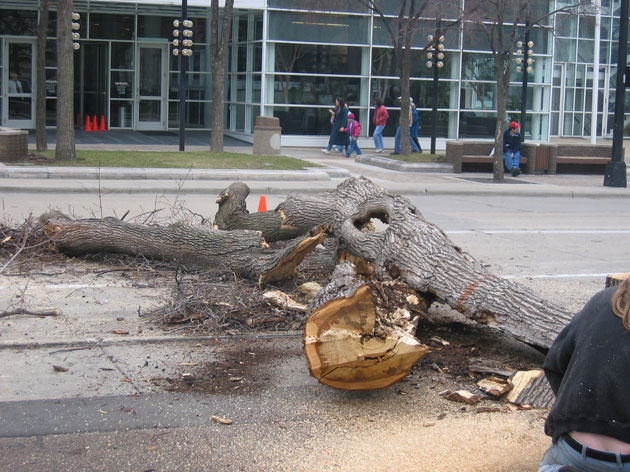 The fallen trees showed evidence of significant decay which was not readily apparent by looking at their exterior, prompting officials to contact Allison Tree Care.