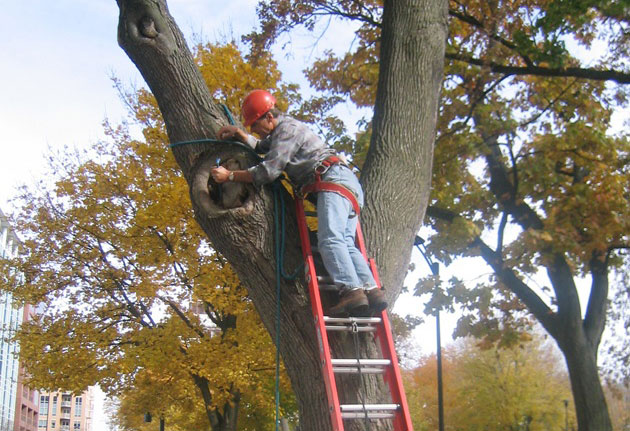 Allison started with a thorough visual inspection, climbing the trees to evaluate the cavities and take measurements.